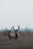 Wild deer Royalty Free Stock Photos