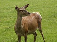 Wild deer Royalty Free Stock Images