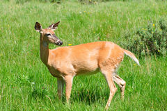 Wild Deer Royalty Free Stock Image