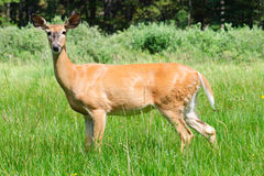 Wild Deer Stock Photo