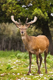 Wild deer. Close up image from a wild deer in a forest Stock Photography