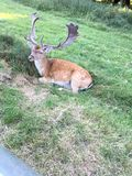 Wild Deer. Beautiful wild deer sitting by the side of the road in ST James Park in London. This one has a magnificent rack of antlers Royalty Free Stock Image