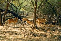 Wild deer in the bushes. Gujarati , India Stock Photo