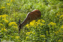 Wild deer Royalty Free Stock Photo