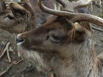 Wild Deer closeup Stock Photos
