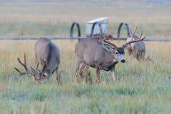 Mule Deer Buck On The Move. Wild Deer on the High Plains of Colorado. Wild Deer In the Colorado Great Outdoors - Mule Deer Buck in an Open Field stock photography
