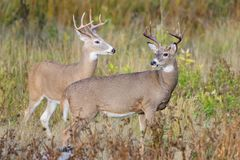 White-tailed Deer Bucks On The Move. Wild Deer on the High Plains of Colorado. Wild Deer In the Colorado Great Outdoors - White-tailed Deer Bucks in an Open stock photo