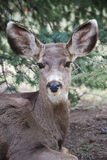 Wild Deer in Colorado Springs. Deer resting near a tree in Colorado Royalty Free Stock Photo