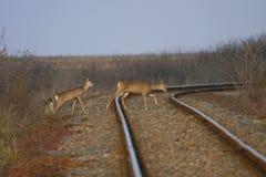 Wild deer crossing railway Royalty Free Stock Images