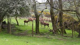 Wild Deer Dartmoor National Park Devon stock video footage