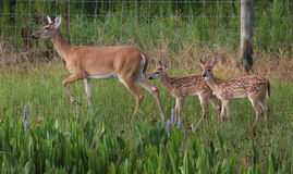 Wild Deer and Doe. In the grass Florida Stock Image