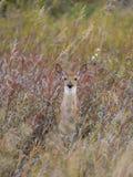 Wild deer Fawn. In tall grass in North Dakota Royalty Free Stock Photo