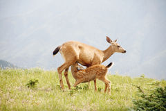 Wild deer feed baby Royalty Free Stock Images