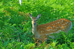 Wild deer in the feild. Wild deer called Ezo Shika in Shiretoko, Hokkaido Stock Images