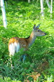 Wild deer in the feild Stock Photography