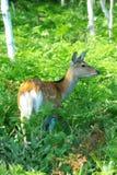 Wild deer in the feild. Wild deer called Ezo Shika in Shiretoko, Hokkaido Stock Photography