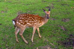 A wild deer of a female runs around the green grass royalty free stock images