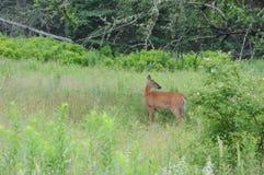 A wild deer Stock Photo