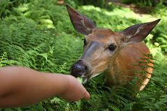 Wild deer on the ferns Stock Image