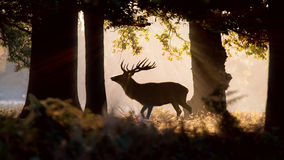 Wild Deer Forest Silhouette. Morning Sunlight Royalty Free Stock Image