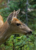 Wild Deer. A wild Deer found in the forest of British Columbia, Canada Stock Images