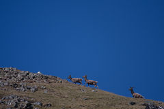 Wild Deer and goats Stock Image
