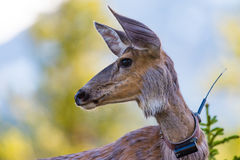 Wild Deer. With gps tracking collar stock photos