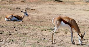 Wild deer grazing on a barren land 4k. Wild deer grazing on a barren land on a sunny day 4k stock video footage