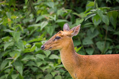 Wild deer with green tree. Close focus on head of wild deer looking forward when hearing strange kind of sound. It stood in front of green tree in tropical stock photo