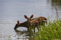 Wild deer having a drink Stock Photo