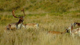 Wild Deer. A wild herd of deer, various ages and gender, photographed early morning at Petworth Park stock video