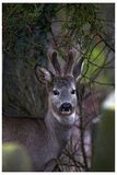 Deer hiding at the graveyard. Wild deer hiding at the graveyard in sommer royalty free stock photos