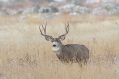 Wild Deer on the High Plains of Colorado. Wild Mule Deer Buck in the Tall Grass of the  Colorado Prairie Stock Image