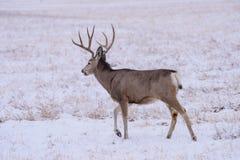 Wild Deer on the High Plains of Colorado - Mule Deer Buck in Winter. Mule Deer Buck on a Snowy Morning. Wild Deer In the Colorado Great Outdoors stock image