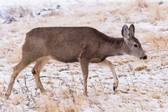 Wild Deer on the High Plains of Colorado During a Snow Storm. Mule Deer Doe in the Snow. Wild Deer In the Colorado Great Outdoors stock photos
