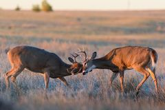Wild Deer on the High Plains of Colorado. Wild Deer In the Colorado Great Outdoors stock photos