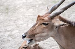Wild deer chewing its food, sitting with his family on the ground, at the zoological park. Wild deer in his natural environment, chewing something tasty, in royalty free stock photo