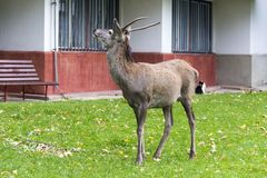 Free Wild Deer In The City Stock Images - 162872674