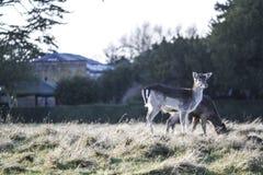 Wild deer stock image