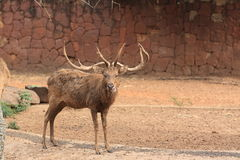 Wild deer with long horns Stock Photo