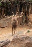Wild deer with long horns Stock Photos