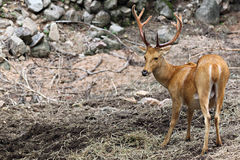 Wild deer are looking for food. Stock Images