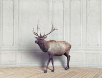 Deer in the room Royalty Free Stock Image