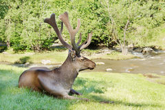 Wild deer lying on the green grass near a creek Stock Photography