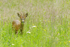 Deer Royalty Free Stock Photos
