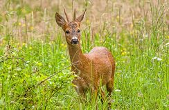 Wild deer Stock Image