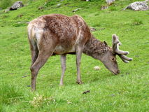 Wild deer on meadow Royalty Free Stock Photography