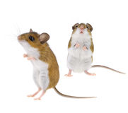 Wild Deer Mice - Peromyscus. Standing hoping wild deer mice isolated on white Royalty Free Stock Photo
