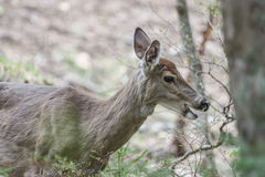 Wild deer. In mont tremblant, quebec, canada Royalty Free Stock Photography