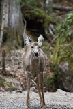 Wild deer. In mont tremblant, quebec, canada Royalty Free Stock Photo